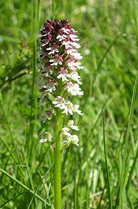 Dwarf orchid (Orchis ustulata)