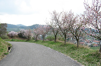 Blossom of almond trees near Oberrotweil