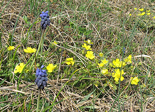 Grape hyacinth and cinquefoil