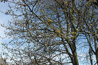 The cherry tree will open its buds soon