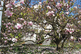 Flowering Magnolia in Oberrotweil