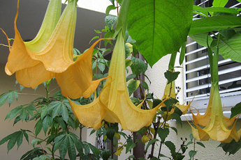 Yellow Datura in full blossom