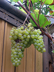 Grape grown in the patio of the Language Guesthouse