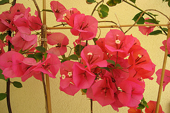 Bougainvillea in full blossom