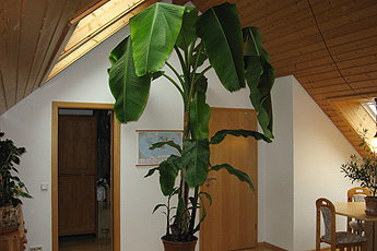 Guest room with banana tree