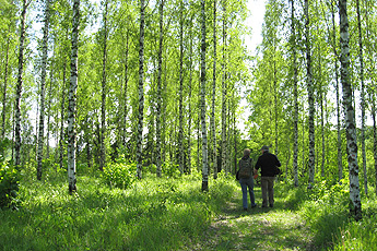 Arboretum Liliental: Ice resistant birch trees