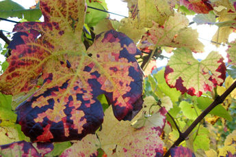 Coloured vine leaves after vintage
